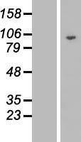 NBL1-09947 - DNAJC16 Lysate
