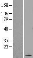NBL1-09950 - DNAJC19 Lysate