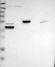 NBP1-88273 - DNAJC28