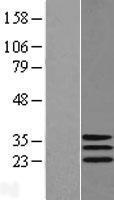 NBL1-09953 - DNAJC30 Lysate