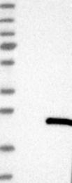NBP1-84367 - DNAJC5G