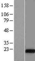 NBL1-09955 - DNAJC5G Lysate