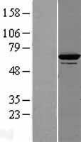 NBL1-09956 - DNAJC7 Lysate