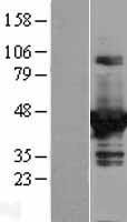 NBL1-09978 - DOK2 Lysate