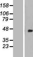 NBL1-09979 - DOK4 Lysate