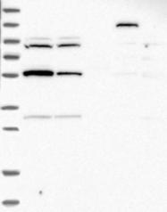 NBP1-87989 - RNF19A / RNF19