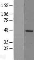 NBL1-16836 - DP2 Lysate
