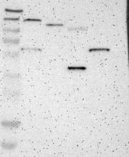 NBP1-86115 - Dipeptidase 1