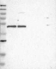 NBP1-87138 - UBID4 / DPF2