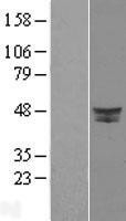 NBL1-09989 - DPF2 Lysate