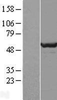 NBL1-09990 - DPH2 Lysate