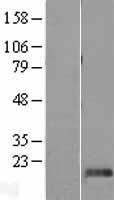 NBL1-09952 - DPH4 Lysate