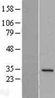 NBL1-09992 - DPM1 Lysate