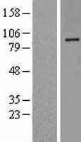 NBL1-09994 - DPP10 Lysate