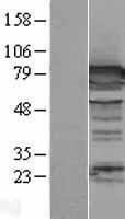 NBL1-09995 - DPP3 Lysate
