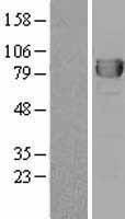 NBL1-09996 - DPP3 Lysate
