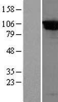 NBL1-09999 - DPP8 Lysate