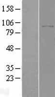 NBL1-10000 - DPP8 Lysate