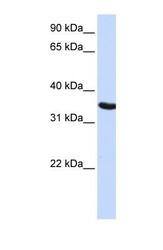 NBP1-54631 - DPPA2 / PESCRG1