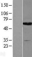 NBL1-10008 - DPYS Lysate
