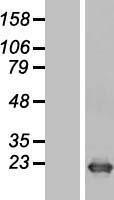 NBL1-10012 - DR1 Lysate