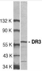 NBP1-76478 - TNFRSF25 / DR3 / TRAMP