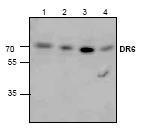 NBP1-45952 - TNFRSF21 / Death receptor 6 (DR6)