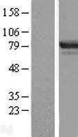 NBL1-17959 - DREF Lysate