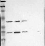 NBP1-82591 - DRG1 / NEDD3