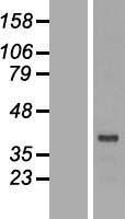 NBL1-10021 - DRG2 Lysate