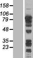 NBL1-07684 - DRIL1 Lysate