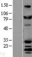 NBL1-09966 - DRP1 Lysate