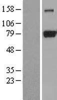 NBL1-09967 - DRP1 Lysate