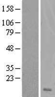 NBL1-10025 - DSCR4 Lysate