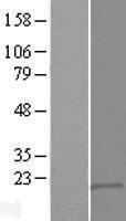 NBL1-10026 - DSCR9 Lysate