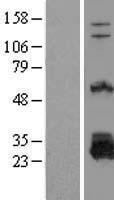 NBL1-10030 - DTD1 Lysate
