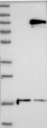 NBP1-88699 - DTX3L / BBAP