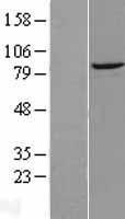 NBL1-10038 - DTX3L Lysate