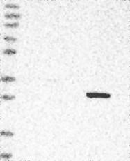 NBP1-87961 - DULLARD