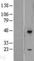 NBL1-10045 - DUSP10 Lysate