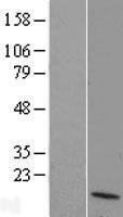 NBL1-10046 - DUSP10 Lysate