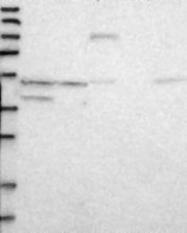 NBP1-84961 - DUSP12