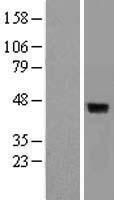 NBL1-10054 - DUSP4 Lysate