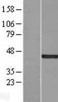 NBL1-10056 - DUSP5 Lysate