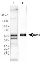 NBP1-49552 - DUX4 / DUX10