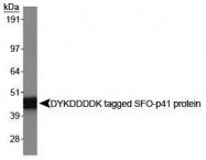 NBP1-06712 - DYKDDDDK Epitope Tag
