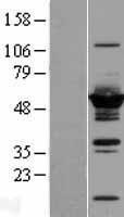 NBL1-10068 - DYNC1LI2 Lysate
