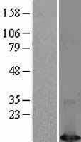 NBL1-10073 - DYNLT1 Lysate
