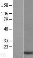 NBL1-10074 - DYNLT3 Lysate