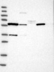 NBP1-89516 - DYRK2